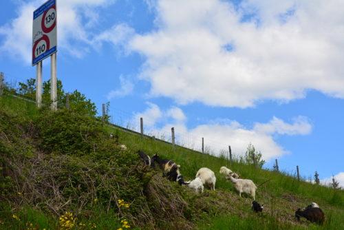 écopâturage : troupeau en bordure d'autoroute-crédit APRR-JPG