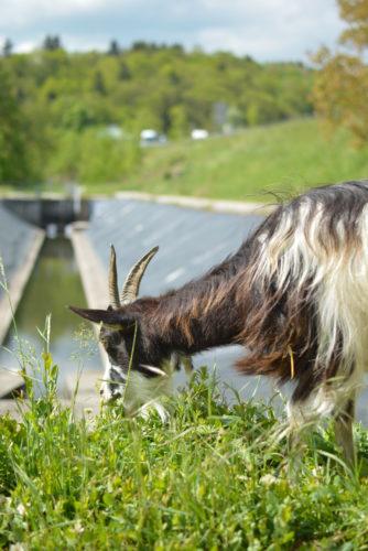 écopâturage : chèvre portrait-crédit APRR-JPG